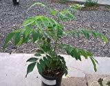 6''-12'' Indian Curry Leaf Plant Kadi Patta Murraya Koenigii Sweet Neem