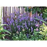 "Findlavender - Lavender French Provence - Very Fragrant - 4"" Size Pot - 1 Live Plant"