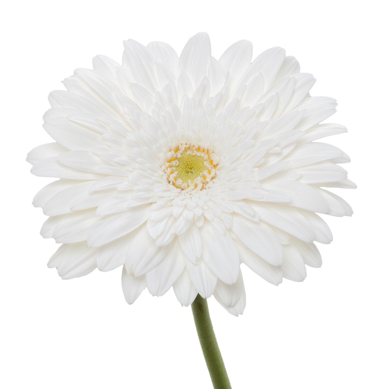 Gerbera Light Center   White - 80 Stem Count by Flower Farm Shop