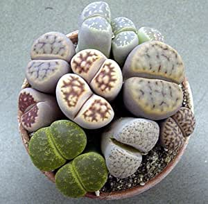 "(CS)~""LIVING STONES"" SUCCULENT~Seeds!!!~~~~~~~~~~Lots of Lithops Varieties!"
