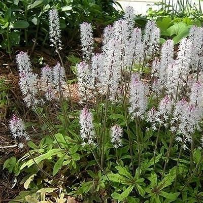 Foamflower Groundcover Seeds (Tiarella Wherryi) 30+Seeds : Garden & Outdoor