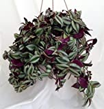 """Purple Wandering Jew - 6"""" Hanging Pot - Easy to Grow House Plant - Inch Plant"""