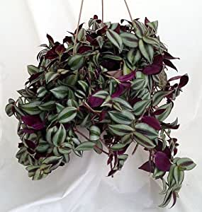 Purple wandering jew 6 hanging pot easy to grow house plant inch plant - Wandering jew care ...