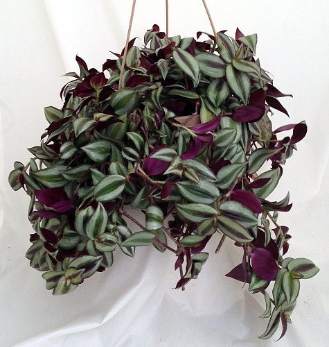 purple-wandering-jew-6-hanging-pot-easy-to-grow-house-plant-inch-plant