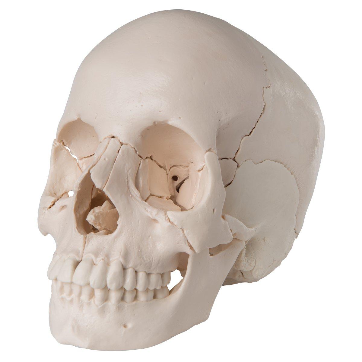 3B Scientific A290 Modelo de anatomía humana Cráneo desmontable ...