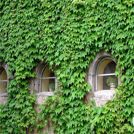 Vines Climbing Ivy (home & garden! Ivy seeds, vines, climbing plants, seedlings tiger lying mountains, 100 seeds germinate lot)