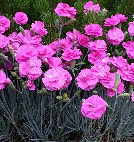 Pack x6 Dianthus Mixed Pinks Perennial Garden Plug Plants