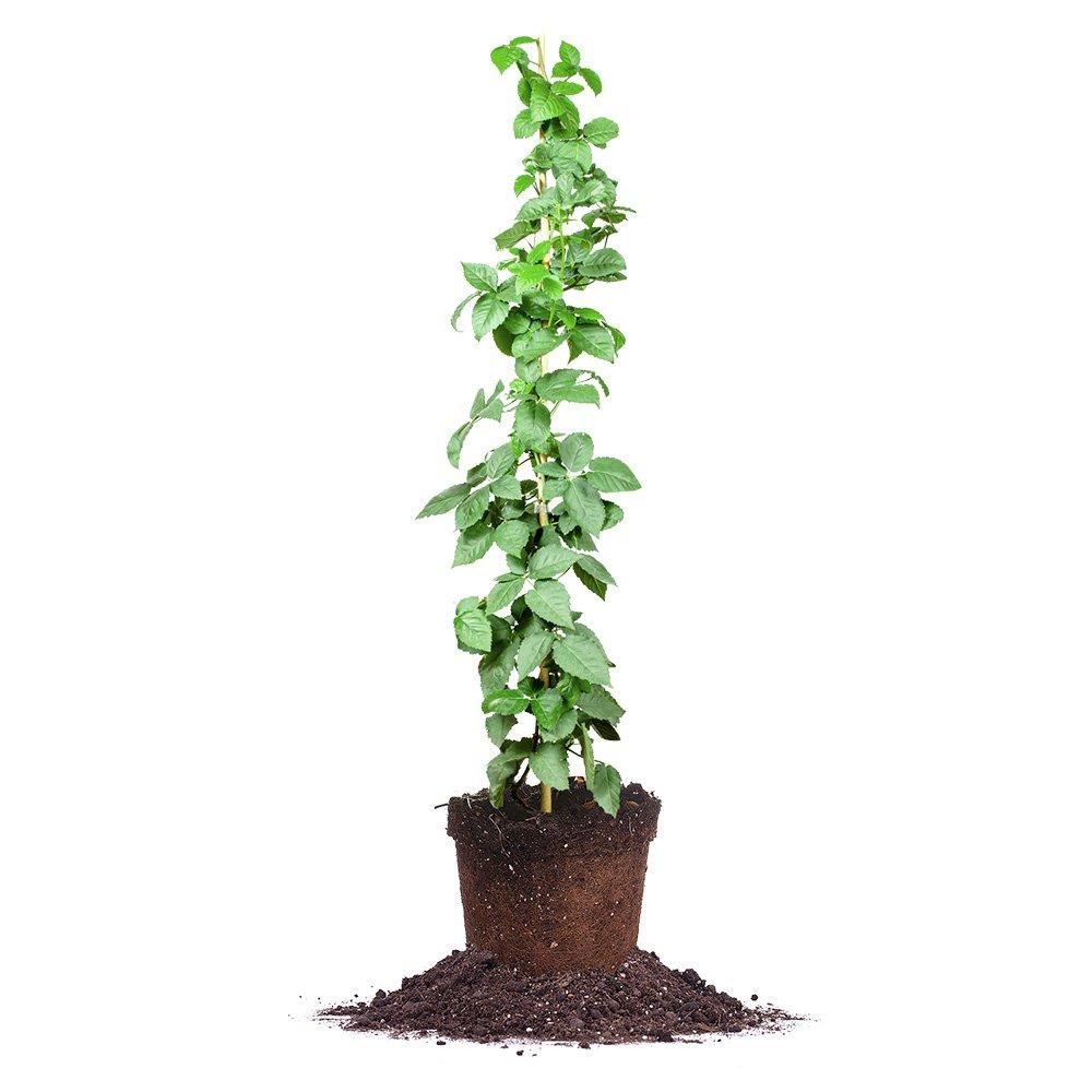 OUACHITA THORNLESS BLACKBERRY VINE - Size: 3-4 ft, live plant, includes special blend fertilizer