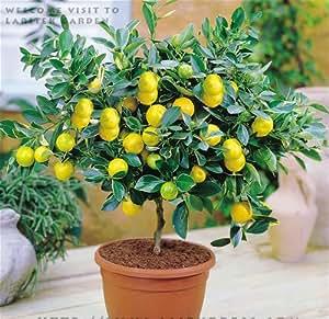 2016 Plantas Promoción real 20pcs Jardín con instrucciones Semillas Bonsai árbol de limón alta tasa de supervivencia de frutas Para el hogar del patio trasero