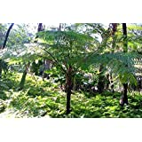Amazon.com: Australiano árbol helecho – cyathea cooperi – 4 ...