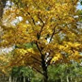 Black Birch Tree Seeds (Betula lenta) 50+Seeds