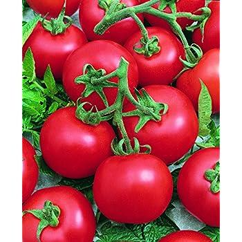 Best Boy Bush F1 Hybrid Tomato ~25 seeds