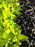 IPOMOEA SWEET POTATO VINE - BLACKIE Margarite mix - 30 PLANTS - STARTERS