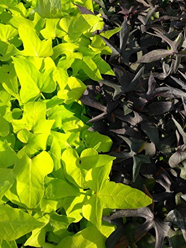 IPOMOEA SWEET POTATO VINE - BLACKIE Margarite mix - 30 PLANTS - STARTERS by joescrazyplants