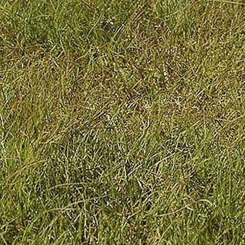 1000 Buffalo Grass Native Grass Seeds - Buffalo Grass Shopping Results