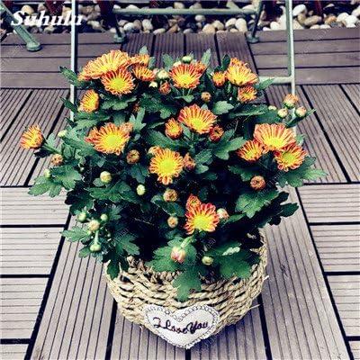 150 PC / bolso Semillas Semillas Tricolor margarita, Garland crisantemo, semillas de flor del jardín de bonsai de interior, colores mezclados Planta de tiesto 17: Amazon.es: Jardín