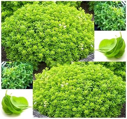Amazon.com: 100 x picante semillas de albahaca ocimum Globe ...