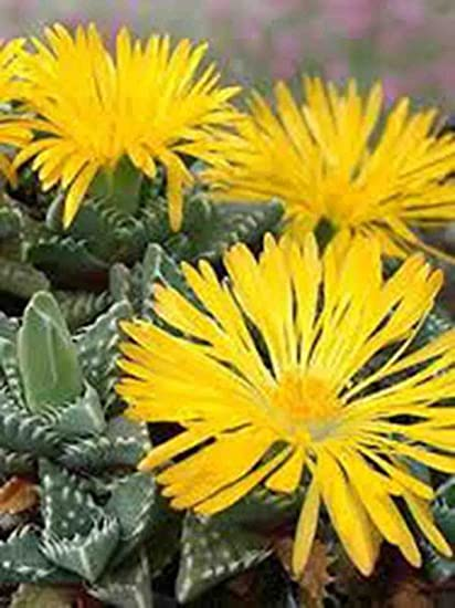 Amazon tigers jaw yellow flower rare plant beautiful red tigers jaw yellow flower rare plant beautiful red crassula succulent cactus mightylinksfo