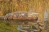 Marsh Crocodile, Ranthambhor National Park, India by Jagdeep Rajput / Danita Delimont Art Print, 18 x 12 inches