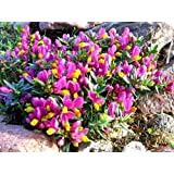 9cm Pot Shrub – Polygala Chamaebuxus Grandiflora (Kamnisky/Creeping Milkwort) Low Growing Garden Plant