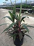 Cordyline fruticosa 'Pink Diamond', Ti Plant, Cordyline terminalis, Dracaena terminalis - 3 Gallon - 4 pack