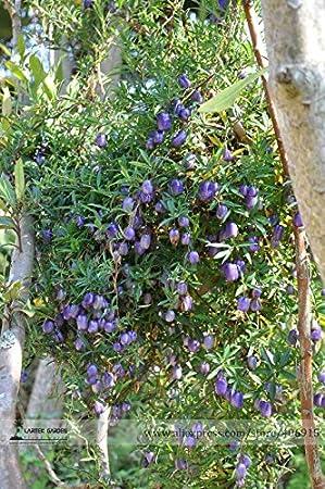 Pinkdose® 2018 Hot Sale Australia Heirloom Purple Apple-Berry Seeds, paquete profesional, 10 semillas/paquete, Billardiera Longiflora Climbing Plant comestible
