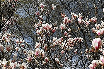 Amazoncom Home Comforts Laminated Poster Flowers Magnolia Tree