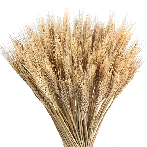 Fall Centerpiece Flower - GTIDEA Large Golden Dried Natural Wheat Sheave Bundle Premium Fall Arrangements Full Wholesale DIY Home Kitchen Table Wedding Centerpieces Decorative