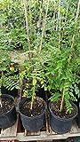 9EzTropical - 9EzTropical - Star Fruit Tree - 2 to 3 Feet Tall - Ship in 1 Gal Pot