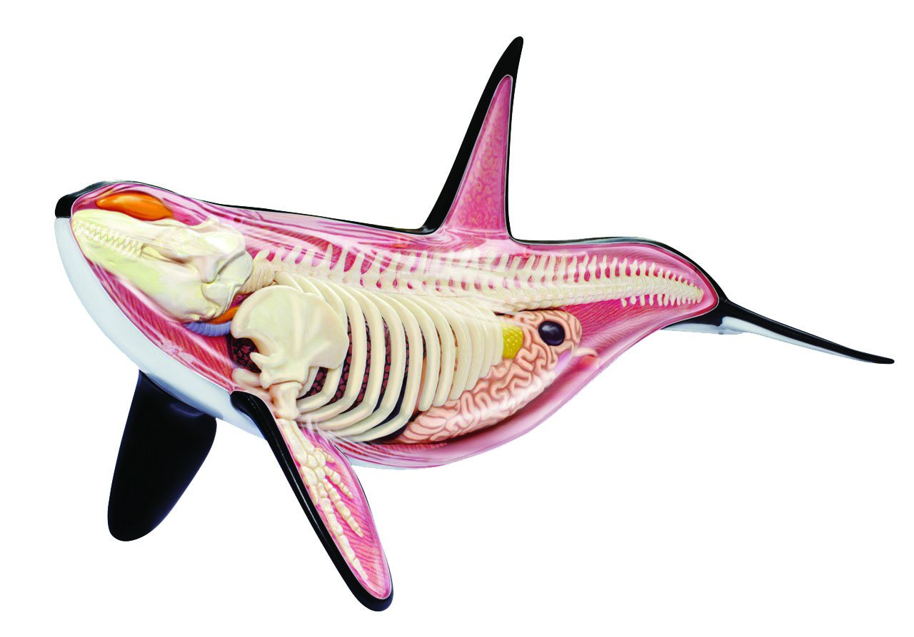 Amazon 4d Orca Anatomy 125 Inch Model Build Your Own With 16