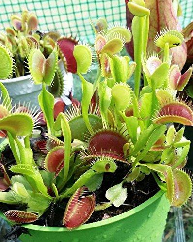 Venusfliegenfalle - ca. 50 Samen - Dionaea muscipula - fleischfressende Pflanze die neben Fliegen auch Spinnen, Ameisen und sogar Wespen fangen kann