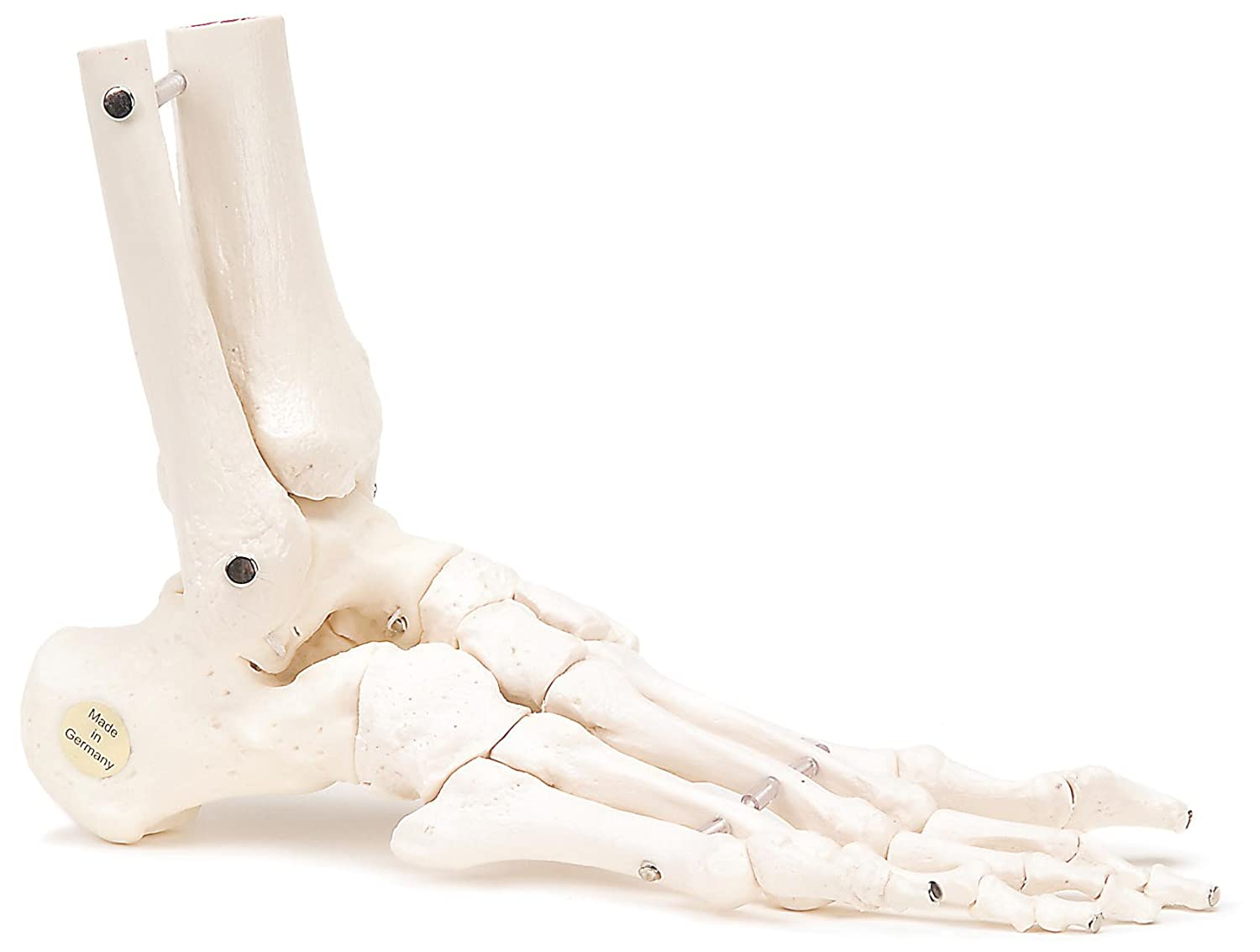 3B Scientific A31/1R Human Right Loose Foot and Ankle Skeleton ...