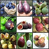 Best Selling!!! 100 SEEDS - (9Kinds) Ficus Carica Fig Fruit Tree Seeds