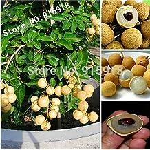 Fruit bonsai 5pcs RARE Dwarf Longan Sri Chompoo aka Dragon Eye Exotic Fruit Seeds in container