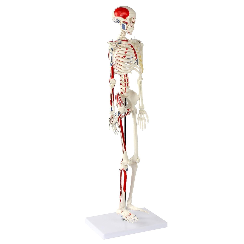 Wunderbar Menschlicher Körper Skelett Gekennzeichnet Ideen ...