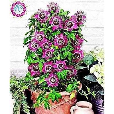 HATCHMATIC 2 : 20 pcs/Bag Vanilla Fraise Seed Bonsai: Home & Kitchen