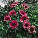 """Roter Sonnenhut """"Rubinstern"""" - kräftig karminrot blühende Insektenstaude im 11 cm Topf - frisch aus der Gärtnerei - Pflanzen-Kölle Gartenstaude"""