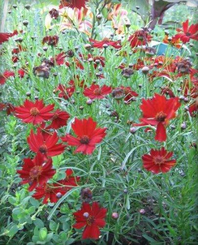 50 MAHOGANY MIDGET COREOPSIS Tinctoria Red Dwarf Flower Seeds *Comb S/H