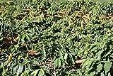 5 LBS Brazil Carmo Fazenda Santa Ines Pulped Natural Unroasted Green Coffee Bean