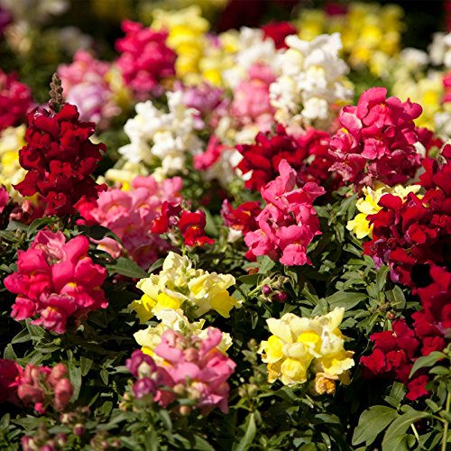 Snapdragon Flower Seeds - Floral Showers Series F1-1000 Seeds - Mix Color Blooms - Annual Flower Garden by Mountain Valley Seed Company