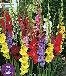 Spring Flower Bulbs, Easy to Grow, 75 bulbs! (Gladiolus 75 Bulbs)