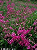 Coral Vine: Pink (Antigonon leptopus) Rosa De