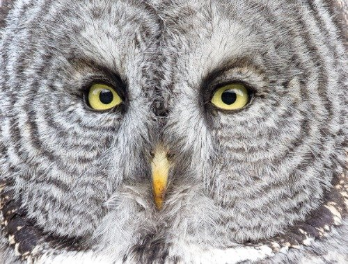 ConversationPrints GREAT GRAY OWL GLOSSY POSTER PICTURE PHOT