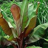 Live Plant Ensete Maurelii - Red Abyssinian Banana