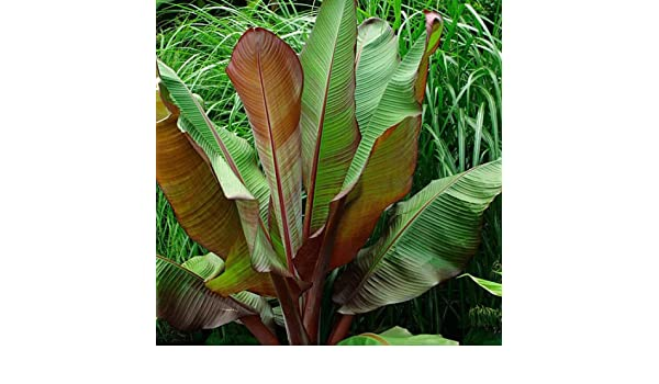 Amazon Com Ensete Maurelii Red Abyssinian Banana Fruit Garden