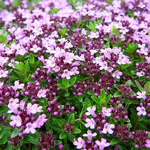 1,6 Million Seeds or 1/2 LB - Creeping Thyme, Rock Cress Flower Herb Garden by andryani_atp