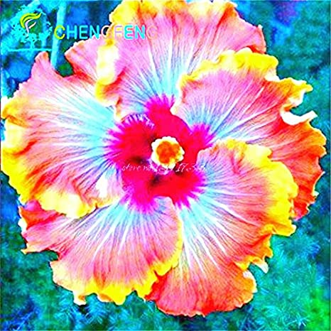 Fiori Hibiscus.Amazon Com About 100 Pieces Lot Giant Hibiscus Flower Seeds