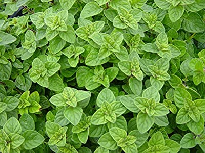 100ct of Oregano Seeds, Greek, Heirloom Herb, Non-Gmo, Most Flavorful & Aromatic