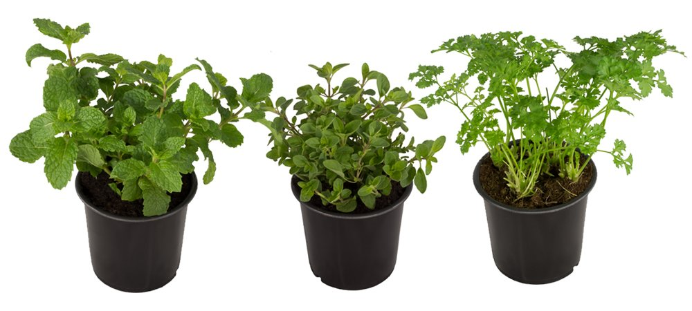 Seville Farms HB002 Mint/Parsley/Oregano Fresh Mediterranean Herb Sampler Box, 3 Pack Collection