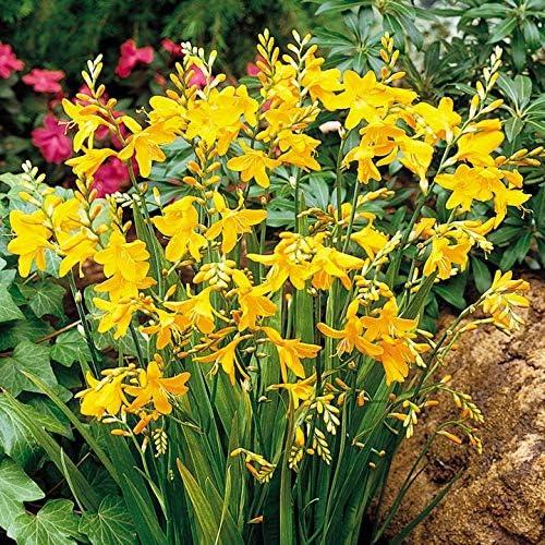 Amazon Com Crocosmia Bulbs Hummingbird Iris Drought Tolerant